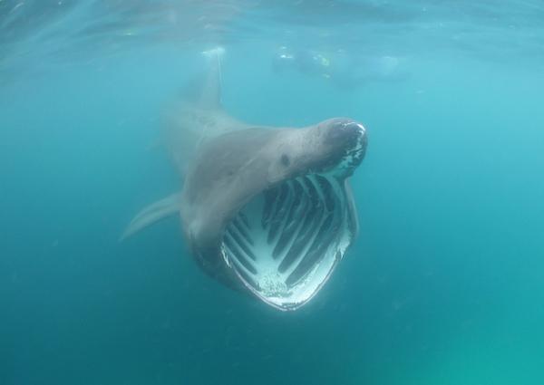 riesenhai-england