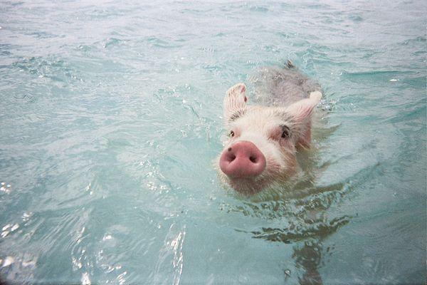 bahamas-schwein-meer