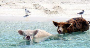 Big Major Cay: Schweinestrand auf den Bahamas