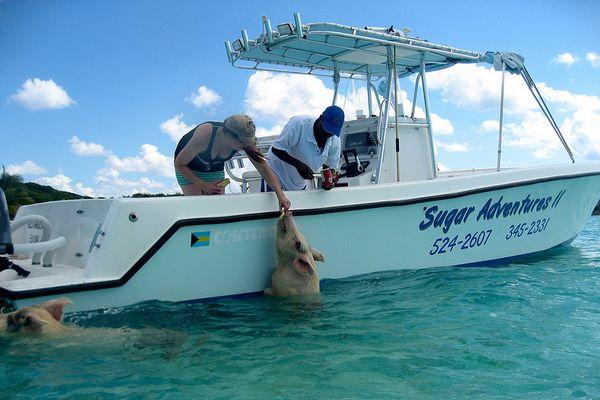 bahamas-schweine-boot