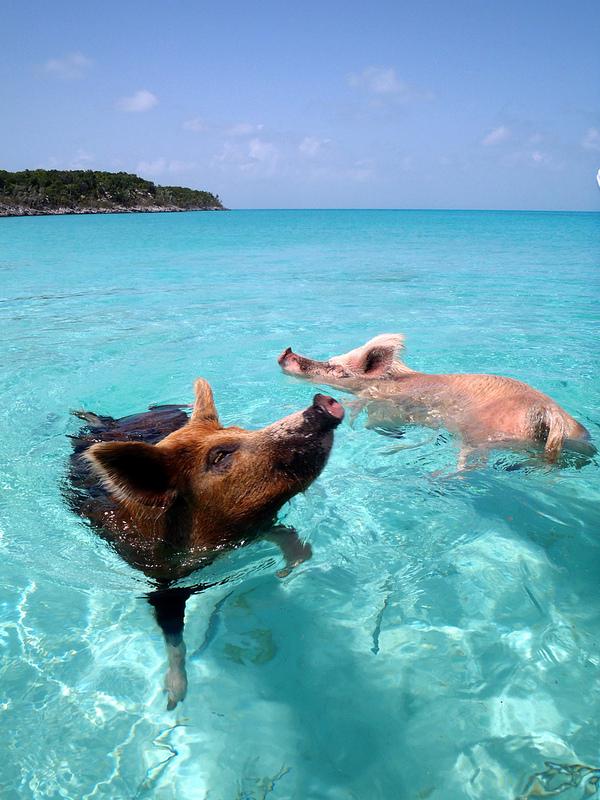 bahamas-schweine-meer