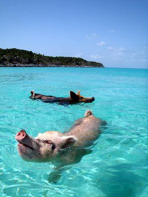 bahamas-schweine-schwimmen