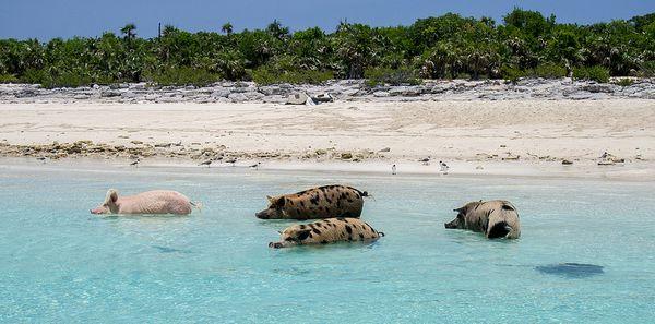 bahamas-schweine-strand