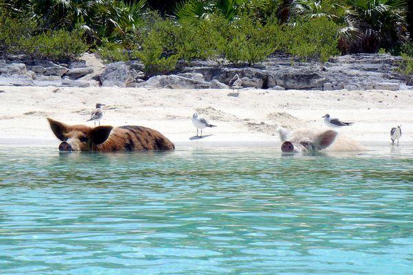 bahamas-schweine-voegel