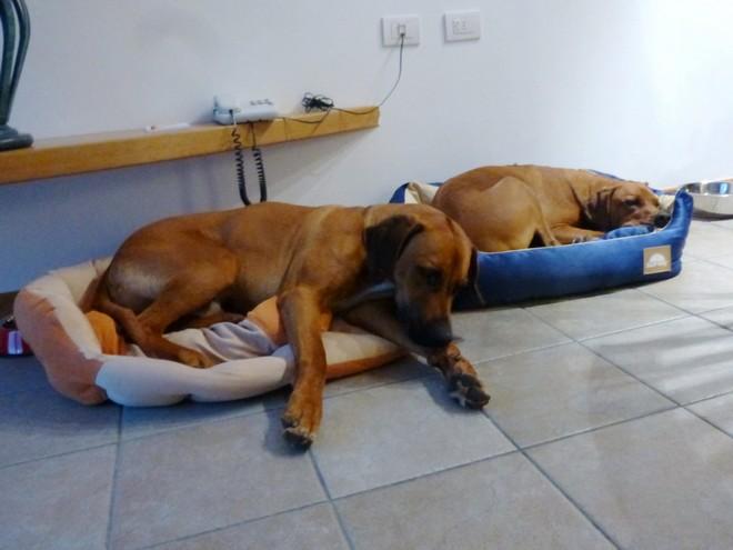Dayo und Suri erschöpft in den vom Hotel zur Verfügung gestellten Körbchen – auch im kleinsten Körbchen ist Platz genug