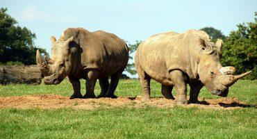 Südafrika fliegt Nashörner nach Botswana