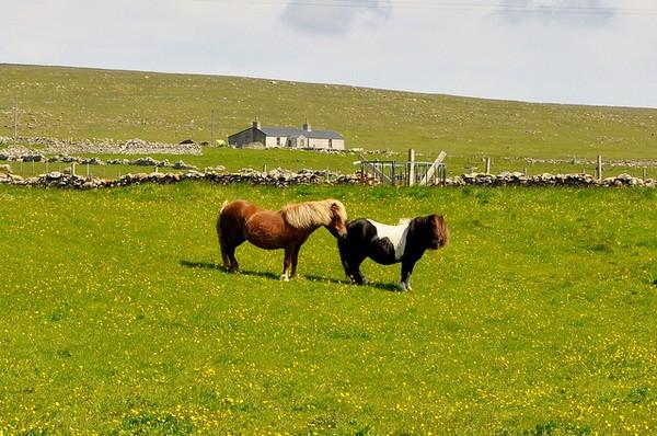 pony-schottland