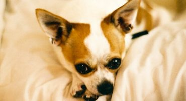TSA findet Chihuahua im Gepäck