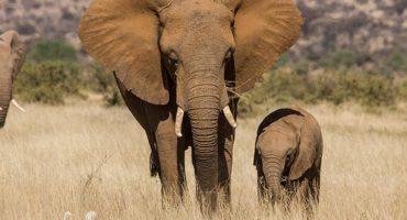 Afrikanischer Elefant vom Aussterben bedroht