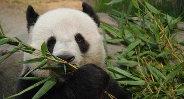 Neuer Panda-Star in Hongkong