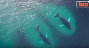 Spektakuläre Luftaufnahmen von Buckelwalen in Norwegen