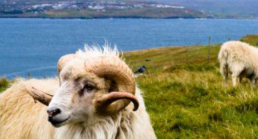 Sheep View: Tierische Ansicht