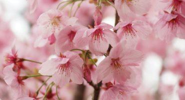 Rosa so weit das Auge reicht – Wo in Japan schon jetzt die Kirschblüte beginnt